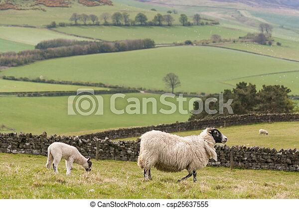 ewe with grazing lamb - csp25637555