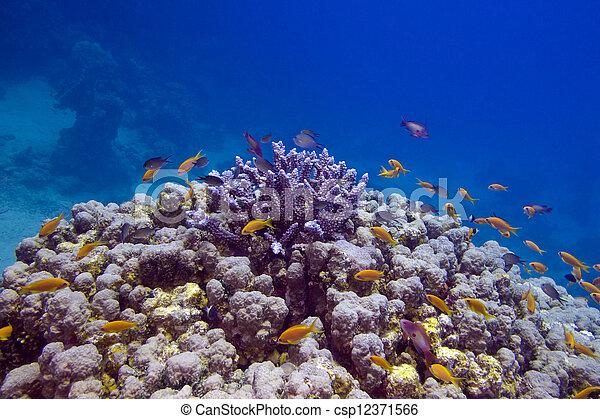 exótico, mar, colorido, fondo, barrera coralina, peces, rojo - csp12371566