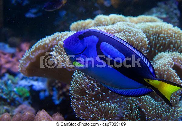 exótico, pez, acuario - csp7033109