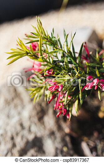 extérieur, grevillea, australien, ensoleillé, arrière-cour, indigène, plante, rouges - csp83917367