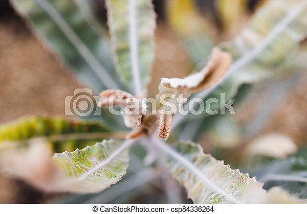 extérieur, plante, banksia, indigène, ensoleillé, australien, arrière-cour - csp84336264
