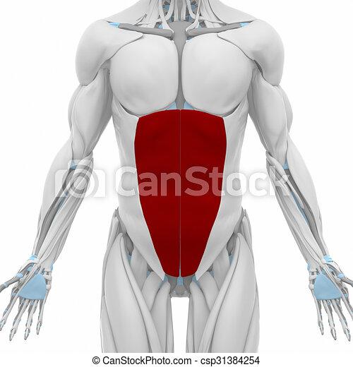 External Abdominal Oblique Muscles Anatomy Map