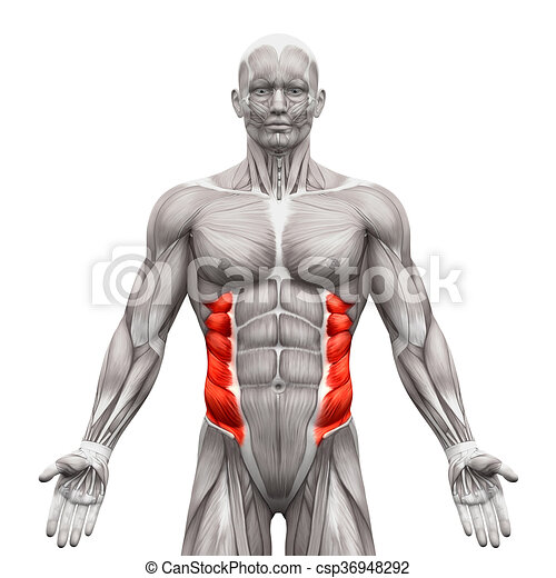 External oblique muscles - anatomy muscles isolated on white - 3d ...