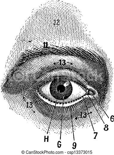 External View of the Human Eye, vintage engraving - csp13373015