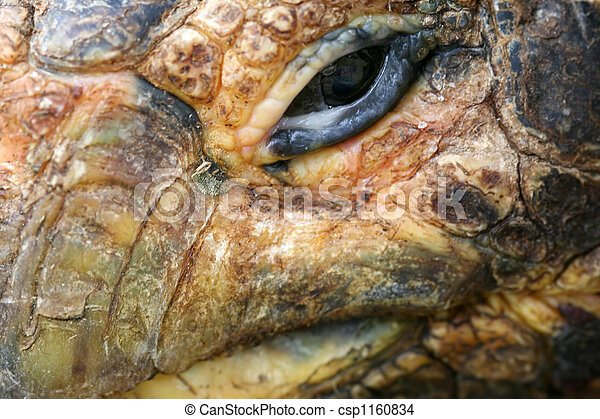 Extreme Close Up of Tortoise - csp1160834