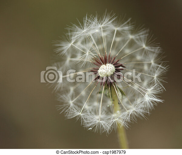 Extreme Depth of Field With a Dandilion - csp1987979
