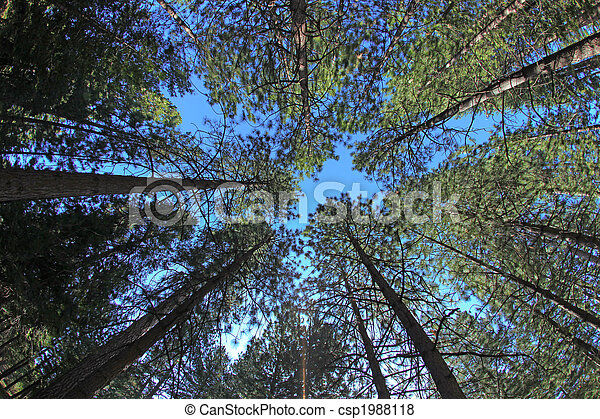 Extremely Tall Pine Trees in Nature - csp1988118