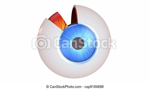 Eye Anatomy Inner Structure Isolated On White