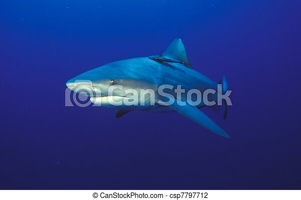 Eyeing shark - csp7797712
