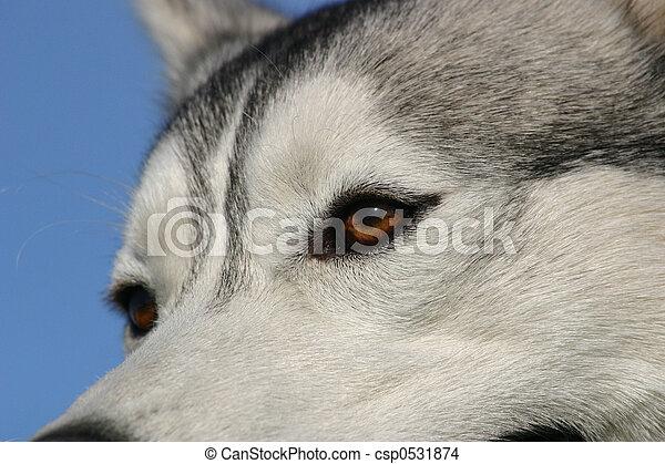 eyes of husky - csp0531874