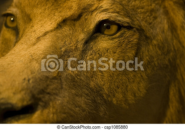 eyes of the lion - csp1085880