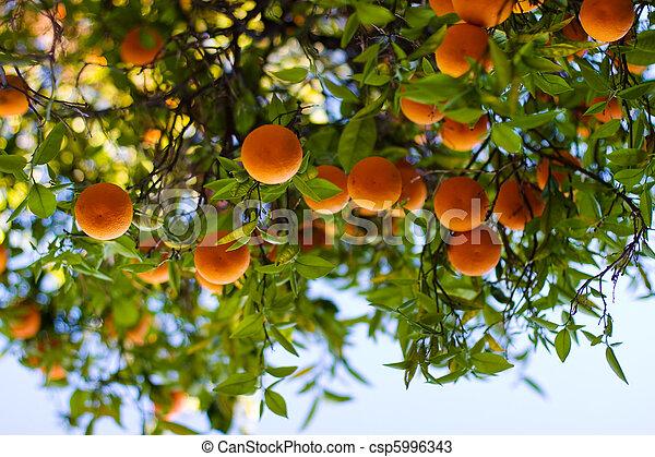 fa, érett, narancsfák - csp5996343