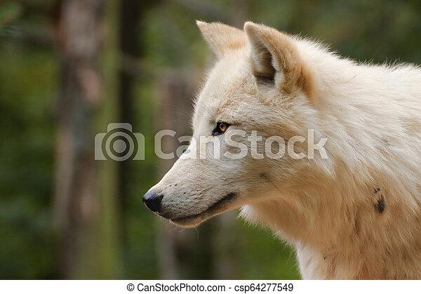 Face Arctic wolf in nature - csp64277549