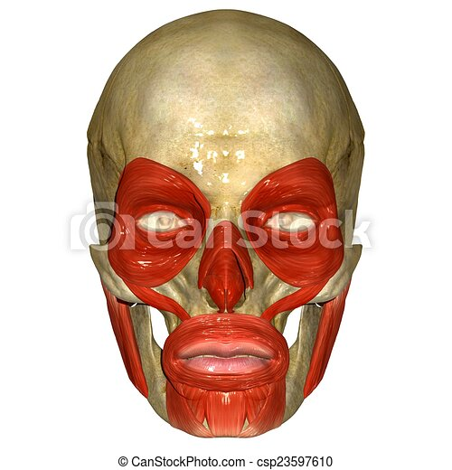 Face muscles. The facial muscles are a group of striated skeletal ...