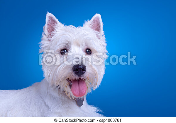 Face of a westie. Face of a west highland terrier against a blue ...
