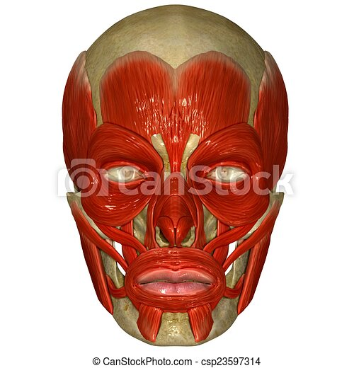 Facial Muscles On Skull The Muscles Of The Head And Neck Clipart