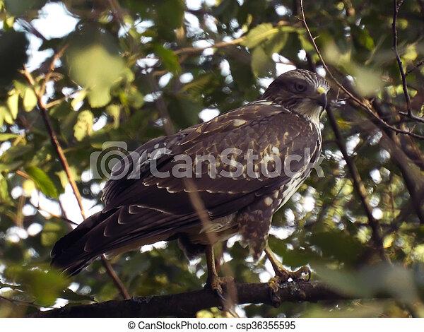 falcon bird of prey in the trees - csp36355595