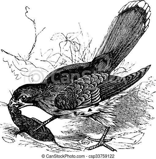 Falcon or Falco sp. vintage engraving - csp33759122