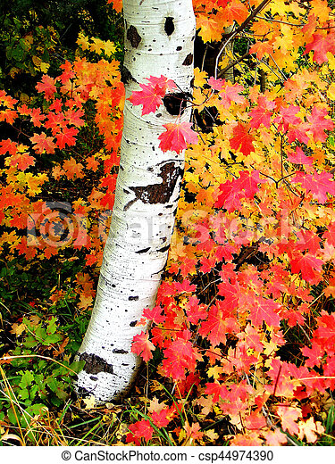 Fall Birch Trees With Autumn Leaves In Background Fall Birch
