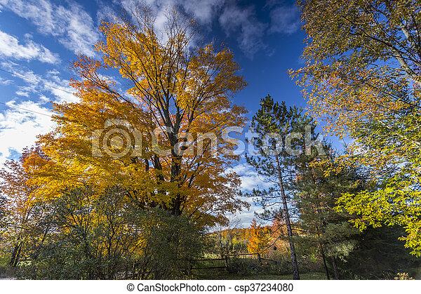 Fall Foliage on Beautiful Maple Trees - csp37234080
