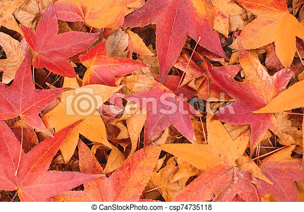 fall maple leaves background - csp74735118