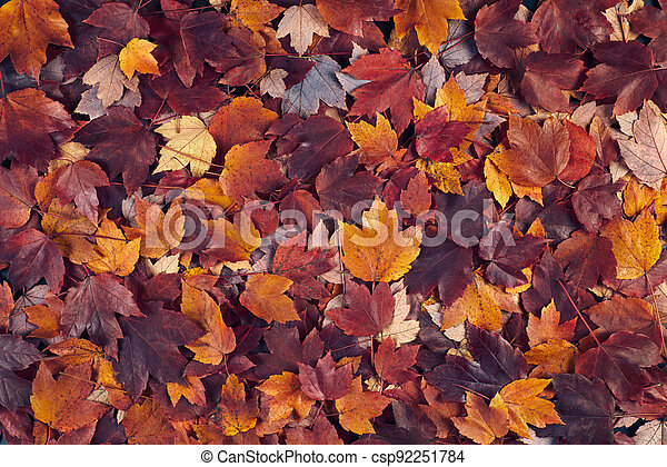 fall maple leaves background - csp92251784