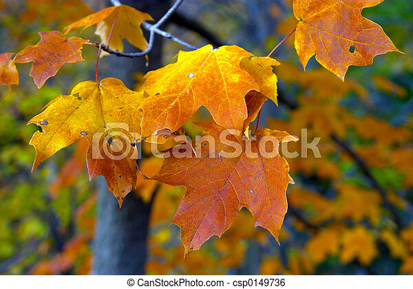 Fall Maple Leaves - csp0149736