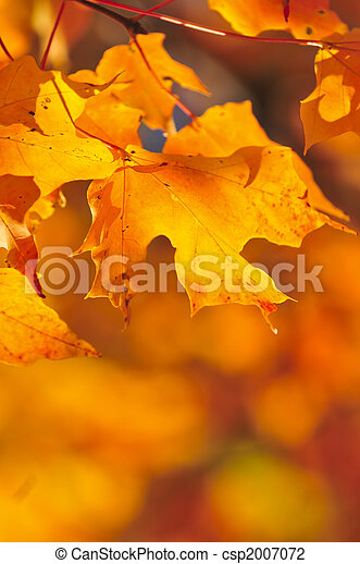 Fall maple leaves - csp2007072