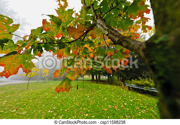 Fall maple tree in foggy park - csp11598238