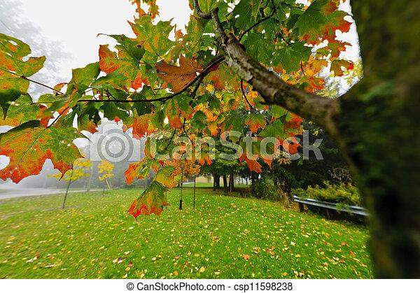 Fall maple tree in foggy park - csp11598238