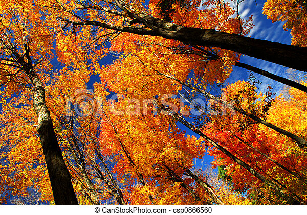 Fall maple trees - csp0866560