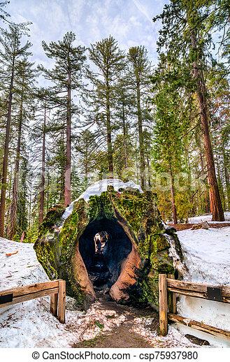 Fallen Monarch Tree in Kings Canyon National Park, California - csp75937980