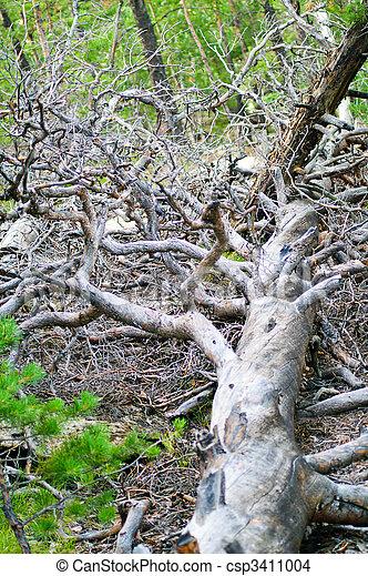 fallen pine - csp3411004