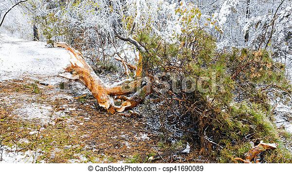 Fallen pine tree branch in winter forest - csp41690089