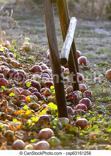 fallen ripe apples in an orchard, - csp63161256