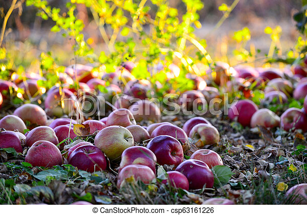 fallen ripe apples in an orchard, - csp63161226