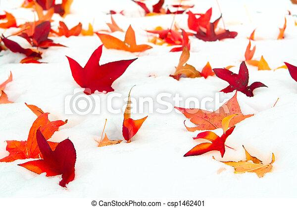 Fallen Sweetgum leaves in the snow - csp1462401