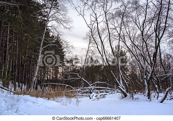 Fallen tree in the winter forest - csp66661407