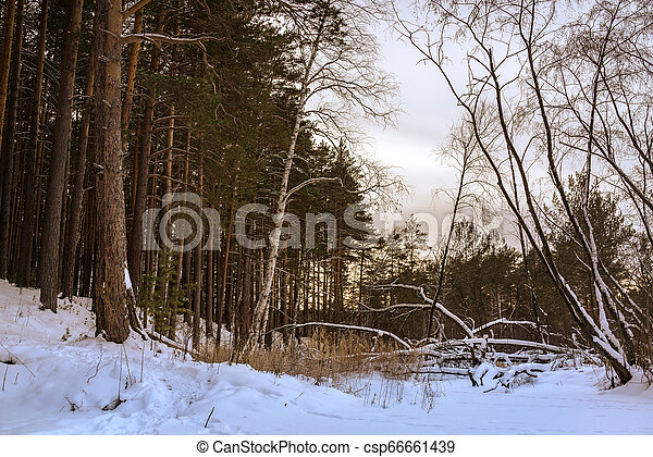Fallen tree in the winter forest - csp66661439