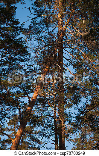 Fallen tree in winter forest at sunset. - csp78700249