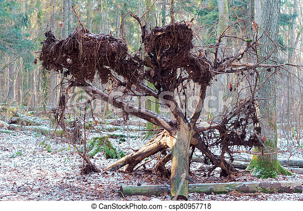 fallen tree in winter forest, tree uprooted - csp80957718