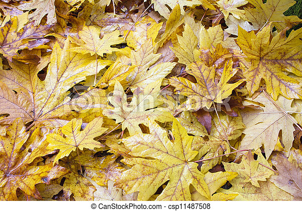 Fallen Wet Giant Maple Tree Leaves Background - csp11487508