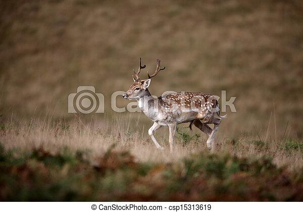 Fallow deer, Dama dama - csp15313619