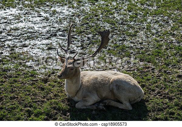 Fallow Deer (dama dama) - csp18905573
