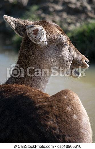 Fallow Deer (dama dama) - csp18905610