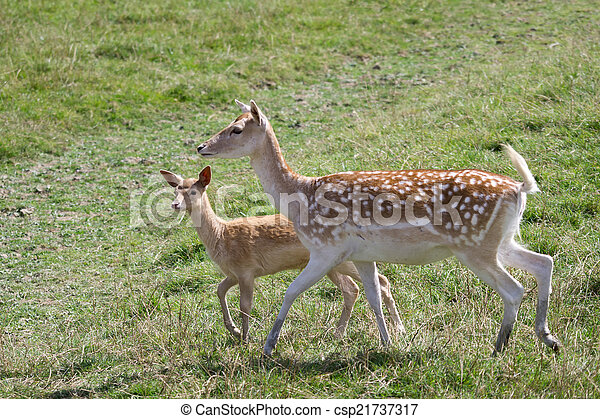 Fallow Deer (Dama dama) - csp21737317
