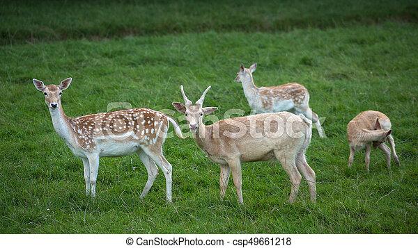 Fallow Deer (Dama dama) - csp49661218