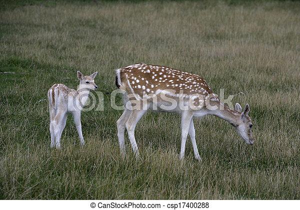 Fallow deer, Dama dama, - csp17400288