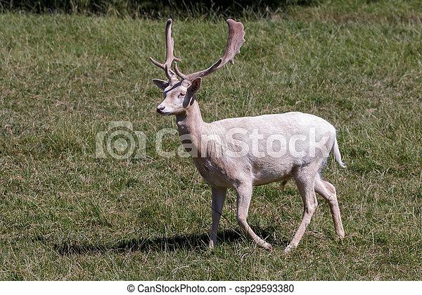 Fallow Deer (Dama dama) - csp29593380