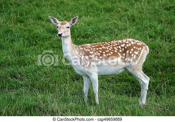 Fallow Deer (Dama dama) - csp49659889